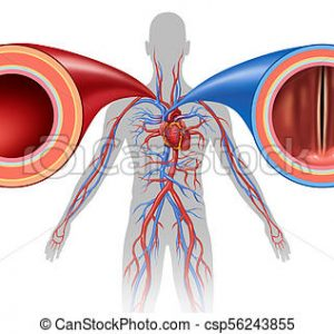 Blood Vessel peptide Extract (5 Ampules)